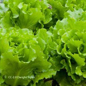 lettuce by Dwight Sipler