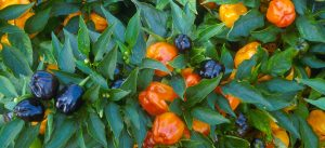 Peppers - US Department of Agriculture
