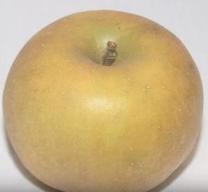 New England Apples - the Golden Russet